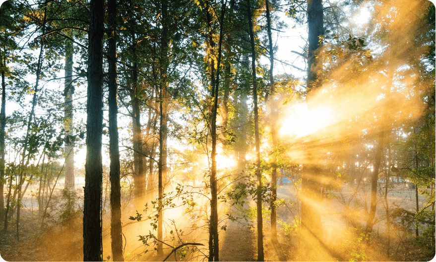 Sunrise through the morning mist in the pine forest